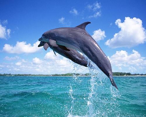 智商最高的动物 海豚